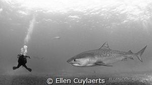 'Are you looking for me?'  Photographer & Tiger shark by Ellen Cuylaerts