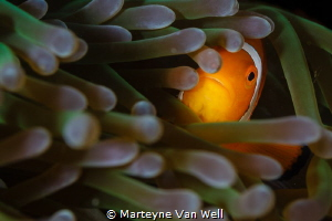 Finding Nemo in Anilao. Taken with a Canon EOS 5D Mark II... by Marteyne Van Well