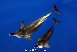 A pair of rough-toothed dolphins came in to investigate a... by Jeff Milisen