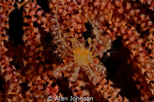 naxioides sp by Alan Johnson