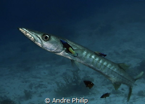 Barracuda on cleaning station by Andre Philip