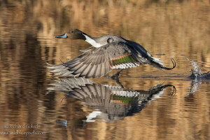 Northern Pintail drake taking off. by Richard Goluch