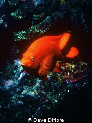 Catalina Island Garibaldi California State Fish by Dave Difiore