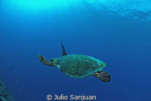 Turtle in Palau by Julio Sanjuan