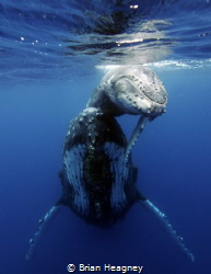 A baby Humpback smiles on the back of it's mum. by Brian Heagney