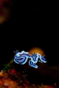 Nudibranch Sundowner by Sharon English
