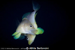 Spawning butter hamlets in Bonaire. by Athila Bertoncini