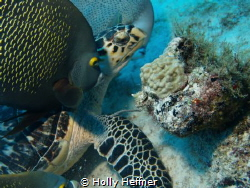This hawksbill seems to be giving the mooching Angelfish ... by Holly Heffner