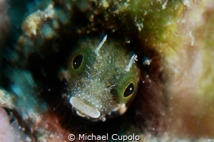 Blenny by Michael Cupolo