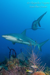 sharks on the Reef by Alejandro Topete