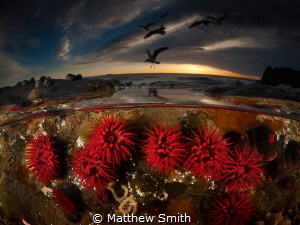 Red Waratah Anemones. What I really love about over/under... by Matthew Smith