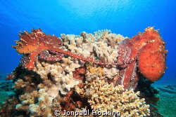 Mating octopus sitting on coral. by Jonpaul Hosking
