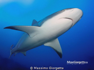 Caribbean grey shark by Massimo Giorgetta