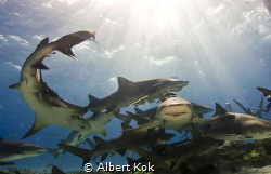 Happy muddle: Lemon sharks under the sun by Albert Kok