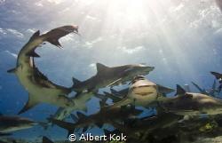 Happy muddle: Lemon sharks under the sun by Albert Kok