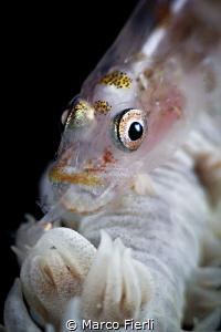 whip coral goby eating a tiny shrimp (night dive, +10, c... by Marco Fierli