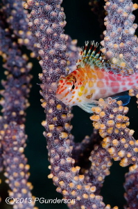 Tiny Hawkfish swimming through a Gorgonian by Pat Gunderson