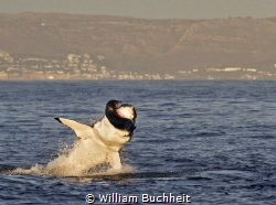 A great white takes a seal in False Bay, South Africa.  A... by William Buchheit
