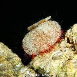 pin cushion night dive red sea fuji finepix f50fd   by Mariska De Beer