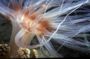 Sea Anemone, Greece,night dive,Nikonos V,macro 1:3 by KARELAS GEORGE