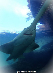 Smalltooth Sawfish by Shaquel Knowles