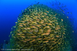 A huge school of Yellow goatfish at a Brazilian shipwreck... by Athila Bertoncini