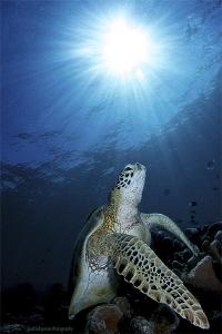 Turtle in sun rays by Iyad Suleyman