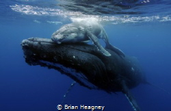 An emotional bond between mother and calf. by Brian Heagney