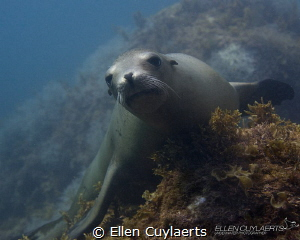 Sea lion resting for a scarce moment at the Midriff Islands by Ellen Cuylaerts