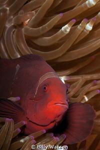 Spinecheek Anemonefish - Pretty Girl by Billy Watson
