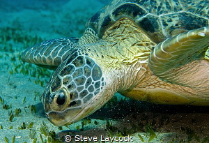 Green turtle, munching the grass by Steve Laycock