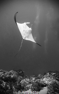 Manta Ray by Gang Song