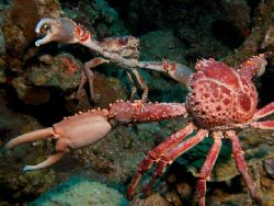 Crab fight or crab love?!!! by Viviane Barth