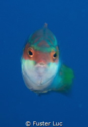 This peacock wrasse was photographed with a 105mm NIKKOR ... by Fuster Luc