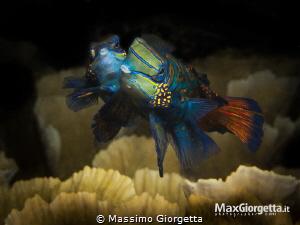 Mandarin - love couple by Massimo Giorgetta