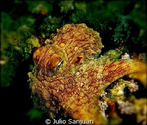 Octopus by Julio Sanjuan