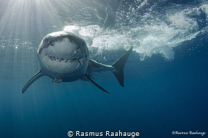 Great white shark approaching the cage - Isla Guadalupe by Rasmus Raahauge