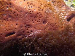 Spotted Cleaner Shrimp by Blaine Harder