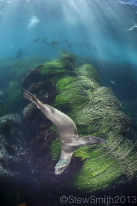 Sea Lion at Cedros by Stew Smith