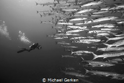 A school of barracuda with diver. by Michael Gerken