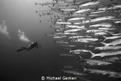 A school of barracuda with diver. by Michael Gerken