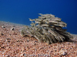 School of juvenile striped eel catfish over sand by Laura Dinraths
