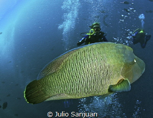 Napoleon fish in Maldives by Julio Sanjuan