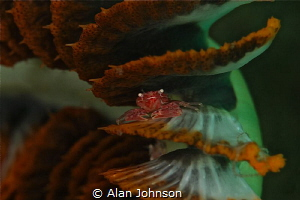 little porcelain or soft coral crab by Alan Johnson