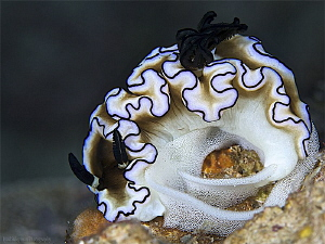 Nudibranch laying eggs by Iyad Suleyman