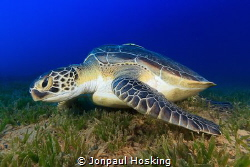 Turtle eating seagrass by Jonpaul Hosking