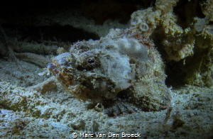 SCORPION FISH BY NIGHT by Marc Van Den Broeck
