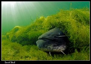 Catfish :-D by Daniel Strub