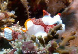 Clown Frogfish Hiding from Big Current in Nusa Penida's C... by Matt Schafer