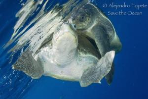 Turtles in Love, Puerto Vallarta Mexico by Alejandro Topete